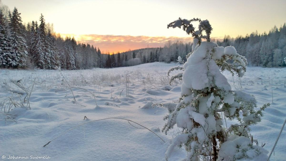 Auringonlasku metsapelto kataja