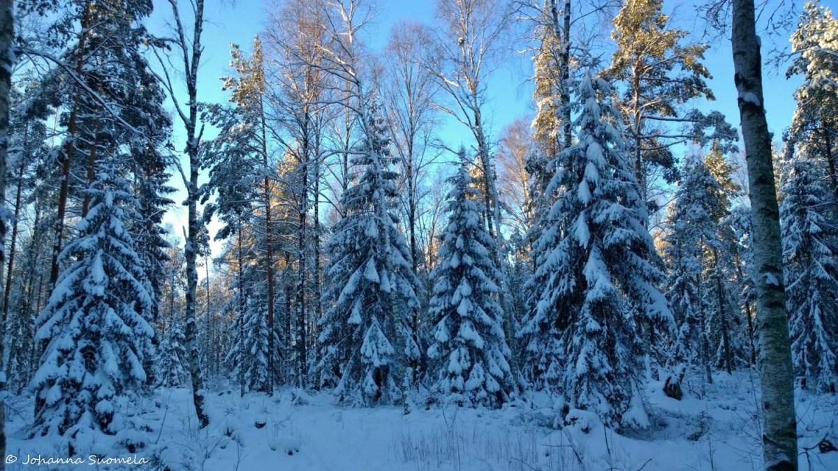 Lumikuuset sininen valo