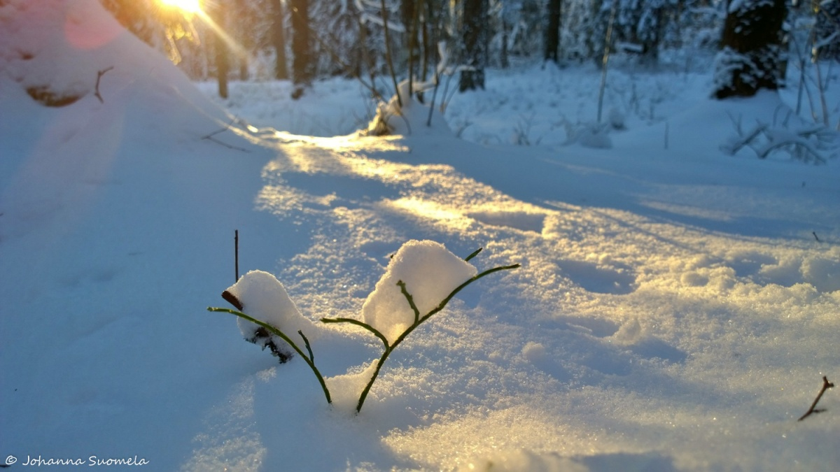 Mustikanvarpu Lumihanki valonsade