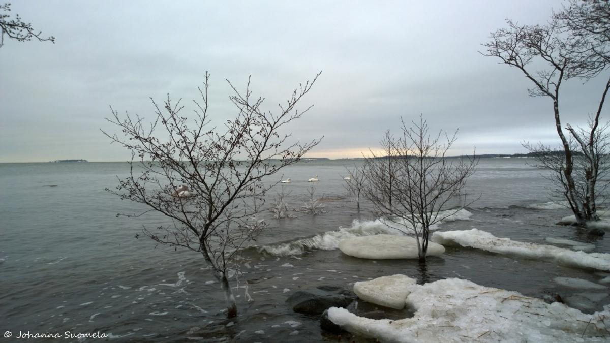 Joutsenet merenranta talvi
