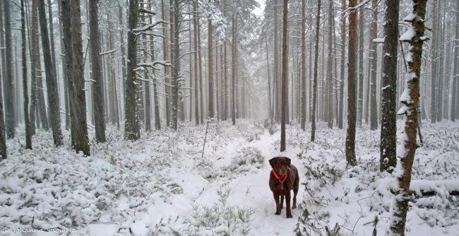 Lumisade koira Uusivuosi