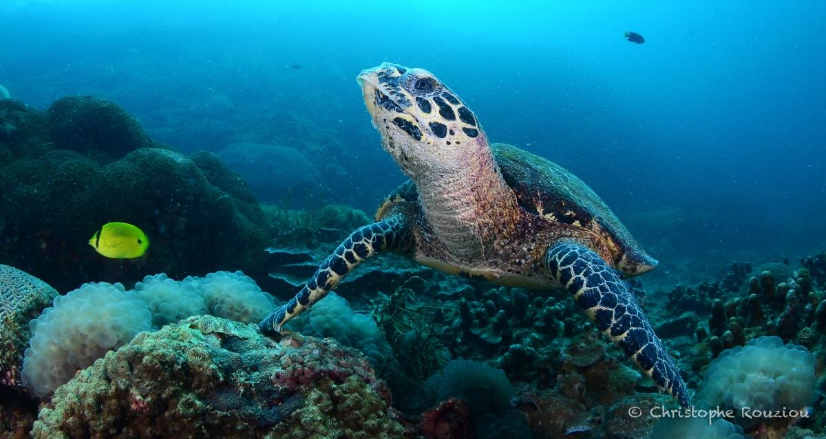 ©Christophe Rouziou Hawksbill Turtle