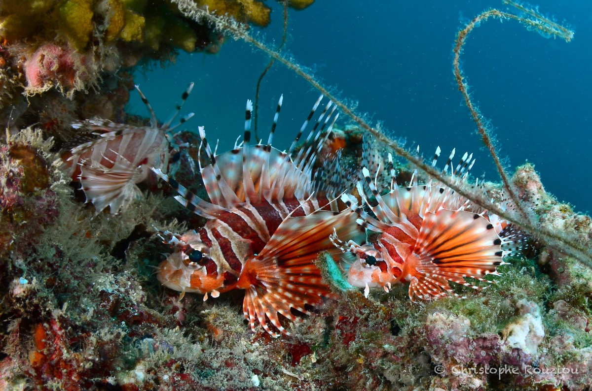 ©Christophe Rouziou  Pacific Lionfishes