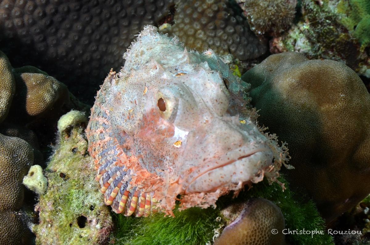 ©Christophe Rouziou Scorpionfish
