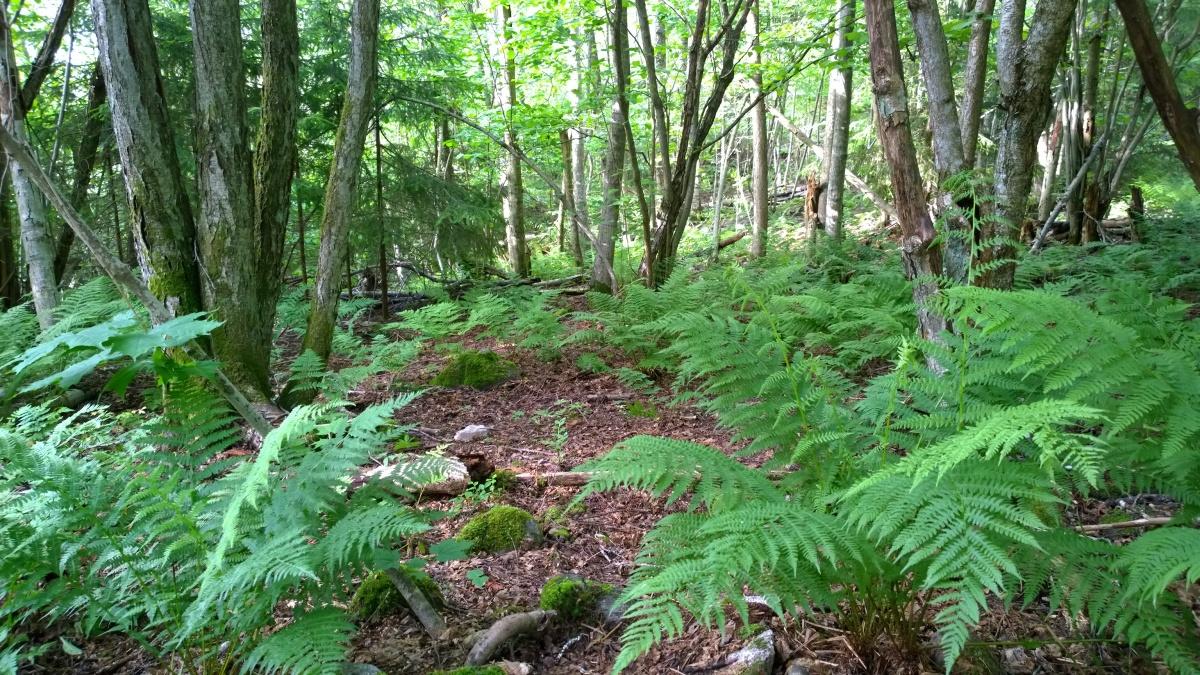 Metsä saniaiset