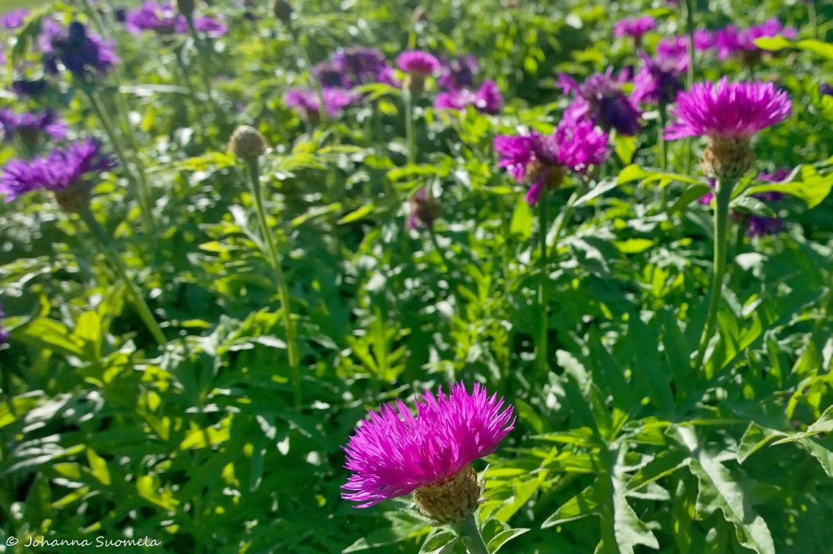 Kuitia Qvidja kukkia