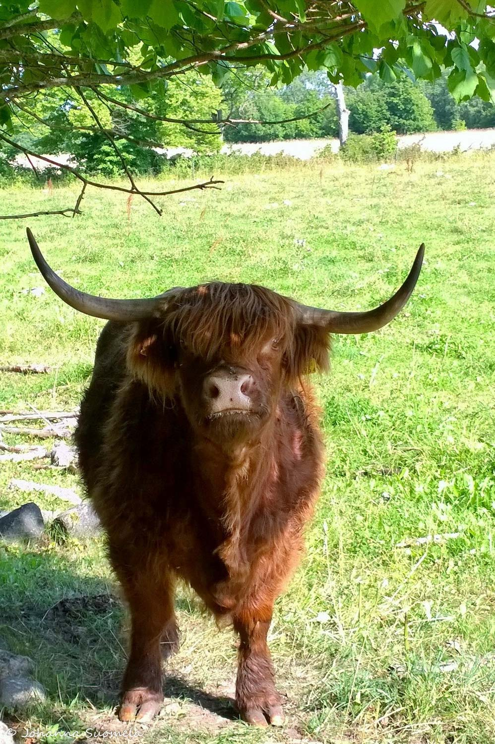 Padaste Highland cattle