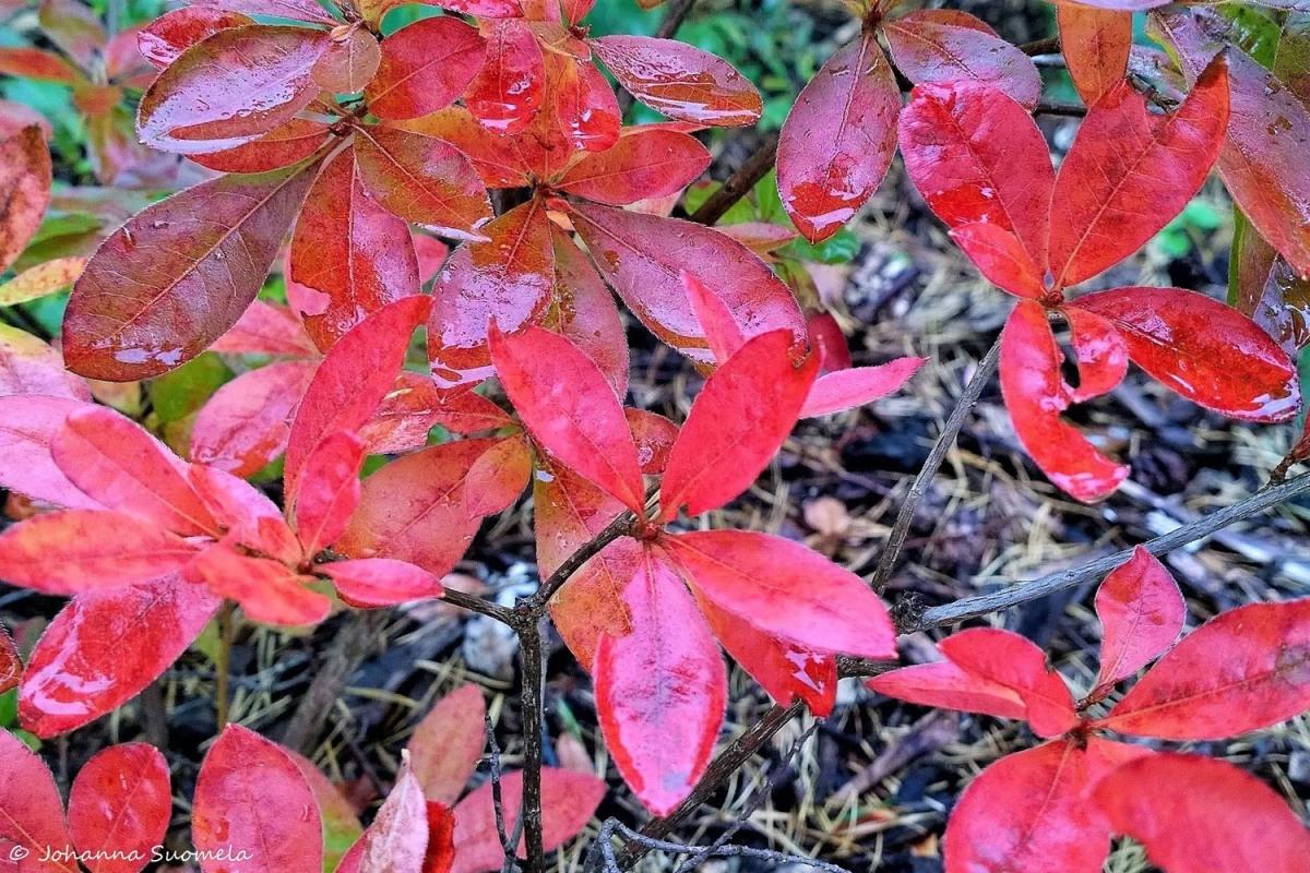 Arboretum Magnolia