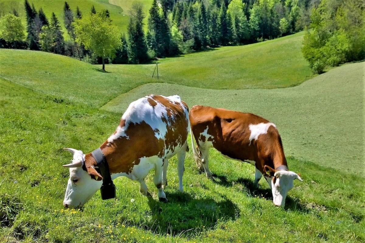 Willisau Sveitsi lehmat