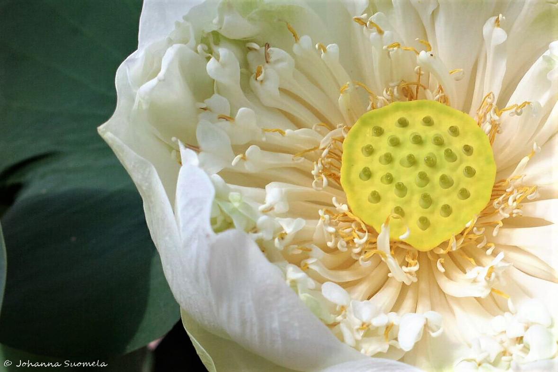 Thaimaa Koh Lanta lootuksen kukka