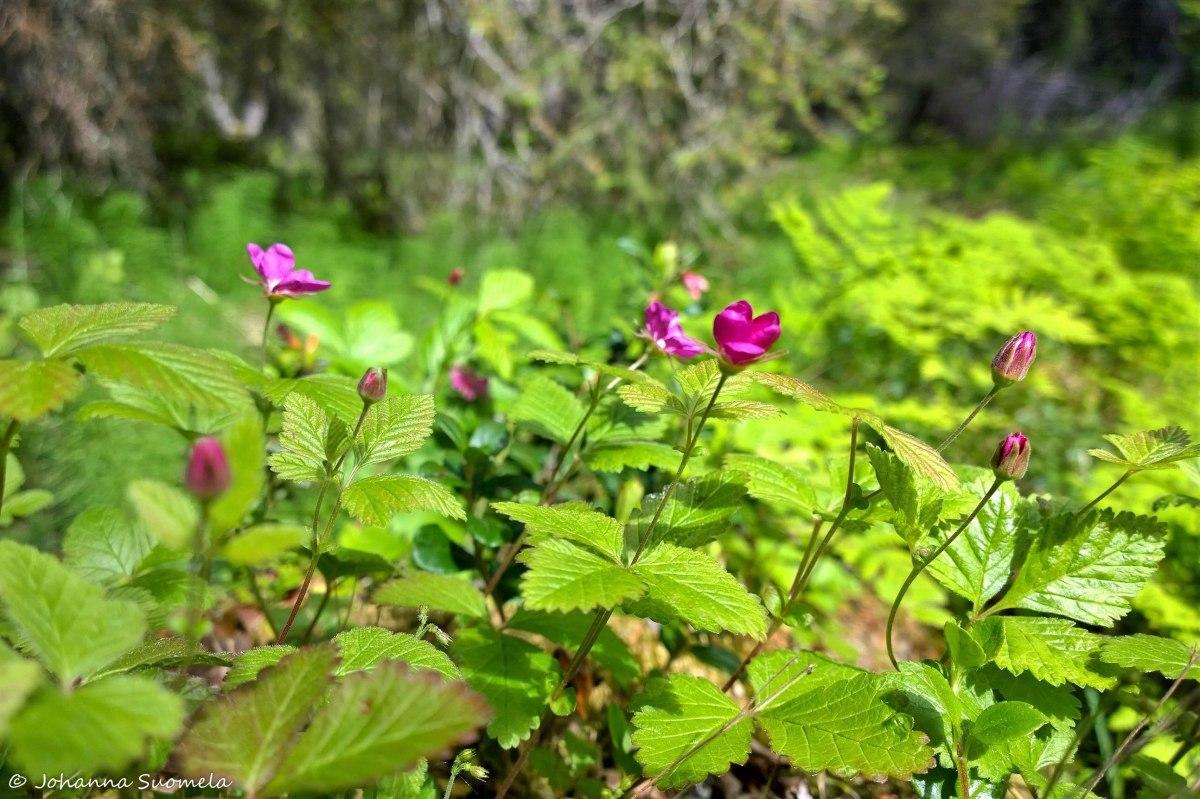 Kuusamo kukkia