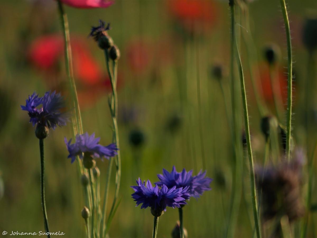 Kukkapelto ruiskukat